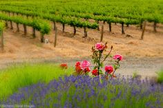 In eastern Washington, flowers and vines are showing off their summer colors. (photog Richard Duval, for Washington Wine Report)