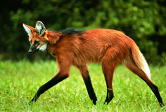 She enjoys being far less spastic than Sirius. Someone has to balance him out. Extinct Animals, Rare Animals, Animals Images, Animals And Pets, Strange Animals, Amazing Animals, Animals Beautiful, Beautiful Creatures, Maned Wolf