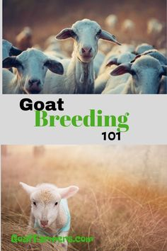 You can learn how to get started right in breeding your own goats. Find out when goats can start breeding, when is breeding season, when do goats go into heat, how to tell if your goat is pregnant and when will the new kids be born. This is your comprehensive guide to goat breeding from start to finish. Breeding Goats, Pregnancy Signs, Backyard Farming, Urban Farming, Getting Pregnant, New Kids, How To Know, Old Things