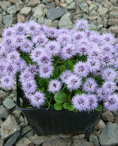 Show details for Globularia incanescens Alpine Garden, Purple Garden, Woodland Garden, Purple Flowers, Perennials, Pictures, Image, Annie, Rocks
