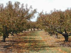 Pick Your Own Peaches, Strawberries and Blackberries-Marburger Orchard, Fredericsburg, TX