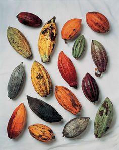 Cacao pods