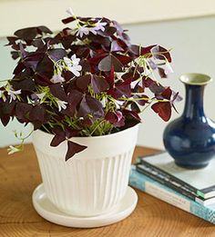 Purple Oxalis --- With its pretty foliage and dainty flowers, purple oxalis looks fabulous in a simple white pot. Put it in a sunny spot and keep it well watered but not soggy.