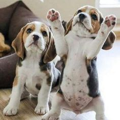 #dogs #pets #Beagles
