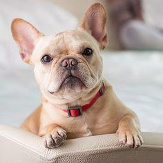 French Bulldog ♥
