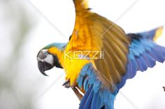 bird with vivid color spreading wings - Bird with vivid colour spreads it wings as it keep its balance on a tree branch.