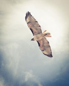 Red Tailed Hawk Flying. Prints come in 10 sizes! #Print #ForSale #Etsy #EtsySeller #EtsyStore #EtsyShop #Photography #Nature #Bird #Flying #Hawk #RedTailedHawk #Raptor #BlueSky #Clouds #Soaring