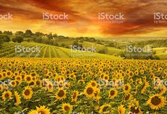 Red sunset over the rolling sunflowers and sunflower fields of Tuscany, Italy Art Print by JA(c)anpaul Ferro - X-Small Field Wallpaper, Nature Wallpaper, Hd Wallpaper, Landscape Arquitecture, Sunflower Pictures, Sunflower Wallpaper, Italy Art, Red Sunset, Sunflower Fields