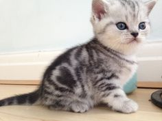Stunning Bsh Spotty Tabby Kittens For Sale Swindon Wiltshire Pets4homes Cute Puppies And Kittens Kittens Cutest Tabby Kitten