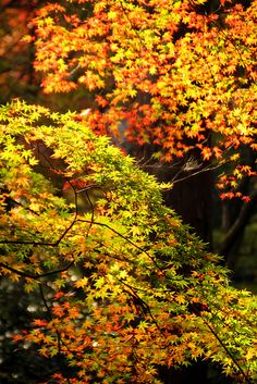 Japanese Maples ♥