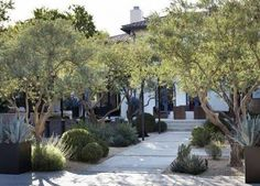 Image result for drought tolerant yard with olive trees