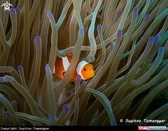 A Anemonefish