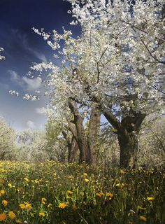 29 best flowering spring trees images on pinterest beautiful ciliegi in fiore italian cherry trees in their glory mightylinksfo