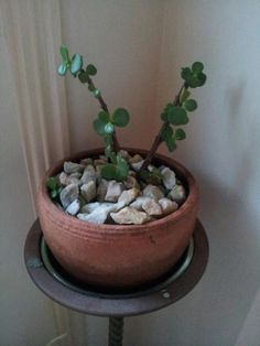 JADE: The principles of feng shui suggest the jade plant nurtures abundance, opportunity, prosperity, and good luck. It is thought to bring healing energy into its environment. It is also known to neutralize unhealthy magnetic fields. In order to maximize Feng Shui And Vastu, Feng Shui Tips, Feng Shui Plants, Feng Shui Symbols, Fen Shui, Feng Shui Energy, Jade Tree, Reiki Room, Feng Shui House