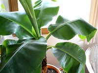 Jak pěstovat banánovník v květináči a sklízet vlastní plody