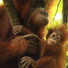 Endangered Sumatran Orangutan taken in the jungle near Bukit Lawang, Gunung Leuser National Park.