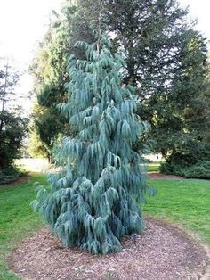 Details about Kashmir Cypress Cupressus cashmeriana Tree Seeds (Fragrant Weeping Evergreen) Evergreen Landscape, Evergreen Garden, Evergreen Shrubs, Garden Trees, Conifer Trees, Trees And Shrubs, Trees To Plant, Weeping Evergreen Trees, Specimen Trees