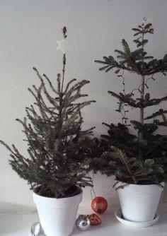Two small christmas trees