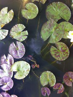 Waterlillies..