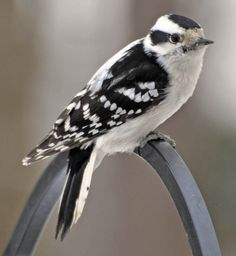 I've only seen one Female Downy Woodpecker in my yard this year, we've had a couple pair of flicker though!