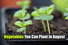 Vegetables You Can Plant In August - SHTF, Emergency Preparedness, Survival Prepping, Homesteading