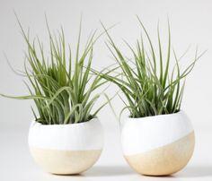 mini air plant duo