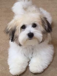 meer dan 1000 idee 235 n coton de tulear op Havanese Haircuts, Havanese Grooming, Dog Grooming Tips, Havanese Puppies, Cute Puppies, Dogs And Puppies, Maltipoo, Coton De Tulear Puppy, Puppy Cut