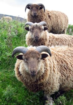 ENGLAND: Sheep; North Yorkshire.