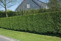Noise Reduction Hedges is a controversial topic. So, how can hedges help? Privacy Landscaping, Landscaping Images, Fast Growing Conifer, Leylandii Hedge, Privacy Hedge, Monterey Cypress, Living Fence, Garden Nursery, Cypress Trees