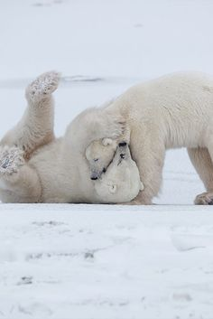 LifeStyle  /  Polar Bears Playing by Igor Altuna