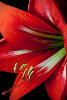 Amaryllis is a greaty for Christmas!