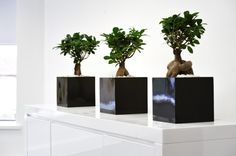 Beacarnea desk bowls - contemporary office plant design - but they do need some light!