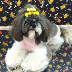 Pet Shop, Shih Tzu, Love Dogs, Groomsmen, Animales, Cats, Pet Dogs, Pet Store