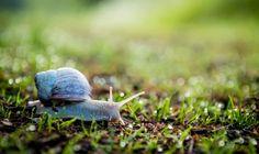 De winnaar van onze juryprijs september 2018 - Fotograaf: Sandra Zijlstra.   Het wordt kouder en natter: De herfst breek aan op deze prachtige foto. De slak heeft nog een afstandje af te leggen en kruipt gestaag door. Van harte Sandra Zijlstra met deze frisse foto waarop de slak in detail is vastgelegd en mooi afsteekt tussen het gras.
