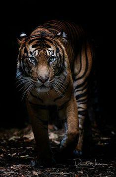 New Tattoo Animal Tiger Big Cats Ideas Wild Animal Wallpaper, Tiger Wallpaper, Wallpaper Jungle, Fabric Wallpaper, Tiger Pictures, Animal Pictures, Beautiful Cats, Animals Beautiful, Animals And Pets