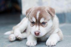 xantheose:    Filhotes de Husky Siberiano - Siberian Husky puppies 26 (by NelsonBr2010)