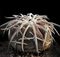 Gymnocalycium spegazzinii var. punillense