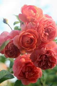 The right varieties to compliment and accent the home's style and your vision, will contribute to the success of your landscape and ultimate rose garden design. Exotic Flowers, Flowers Nature, Pretty Flowers, Colorful Roses, Beautiful Roses, Beautiful Gardens, Rose Foto, Fleur Orange, Summer Songs