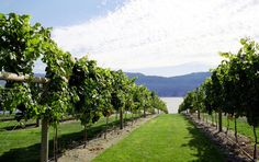 Vineyard view to lake Okanagan - #Kelowna Real Estate