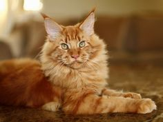 Merlin, 5 month old maine coon