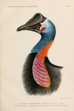 Novitates Zoologicae, Vol 36, 1930-31.