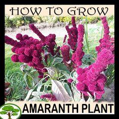 Amaranthus gangeticus for sale - Grow plants Easy Plants To Grow, Growing Plants, Edible Plants, Edible Flowers, Amaranth Plant, Peony Support, Vegetative Reproduction, Buy Seeds, Amaranthus