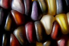 Wonderful colors. Kernels of indian corn