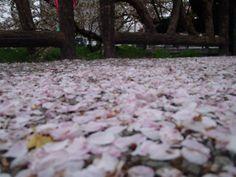 桜の絨毯part2