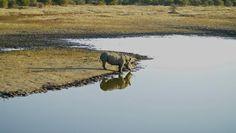 Piedra OnLine: ¡Valiente rescate! Así fue cómo un hipopótamo salv...