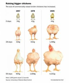 Beyond the politics lies the story of why American poultry needs such drastic chemical treatment – and of the horrendous conditions at the farms where they are bred and reared. Brown Eggs, Blue Eggs, Green Eggs And Ham, Buy Chickens, Raising Chickens, Chickens Backyard, What Is Homestead, Chicken Names, Broiler Chicken