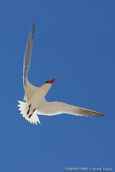Caspian Tern - Explore theplainswanderer's photos on Flickr.