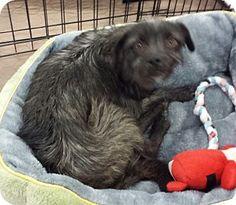 Phoenix, AZ - Cairn Terrier Mix. Meet Peppercorn, a dog for adoption. http://www.adoptapet.com/pet/10453285-phoenix-arizona-cairn-terrier-mix