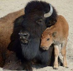 Mama with baby buffalo