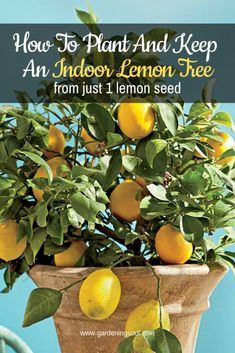 How to plant and keep an indoor lemon tree from just 1 lemon seed extraordinary indoor garden design and remodel ideas for apartment Indoor Lemon Tree, Indoor Trees, Home Vegetable Garden, Fruit Garden, Herb Garden, Apartment Vegetable Garden, Gutter Garden, Indoor Vegetable Gardening, Citrus Trees